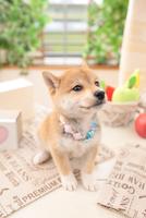 1匹の柴犬 21028020948| 写真素材・ストックフォト・画像・イラスト素材|アマナイメージズ
