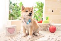 1匹の柴犬 21028020951| 写真素材・ストックフォト・画像・イラスト素材|アマナイメージズ