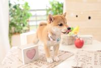 1匹の柴犬 21028020953| 写真素材・ストックフォト・画像・イラスト素材|アマナイメージズ