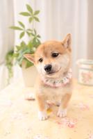 1匹の柴犬 21028021003| 写真素材・ストックフォト・画像・イラスト素材|アマナイメージズ