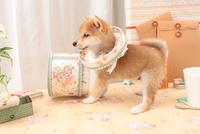 1匹の柴犬 21028021005| 写真素材・ストックフォト・画像・イラスト素材|アマナイメージズ