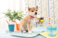 1匹の柴犬 21028021041| 写真素材・ストックフォト・画像・イラスト素材|アマナイメージズ