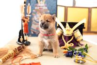 1匹の柴犬 21028021649| 写真素材・ストックフォト・画像・イラスト素材|アマナイメージズ