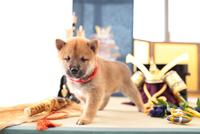 1匹の柴犬 21028021653| 写真素材・ストックフォト・画像・イラスト素材|アマナイメージズ
