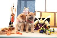 2匹の柴犬 21028021656| 写真素材・ストックフォト・画像・イラスト素材|アマナイメージズ