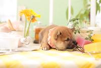 1匹の柴犬 21028021742| 写真素材・ストックフォト・画像・イラスト素材|アマナイメージズ
