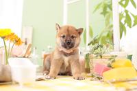 1匹の柴犬 21028021745| 写真素材・ストックフォト・画像・イラスト素材|アマナイメージズ
