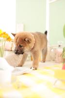 1匹の柴犬 21028021746| 写真素材・ストックフォト・画像・イラスト素材|アマナイメージズ