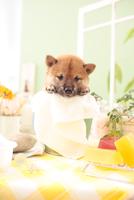 1匹の柴犬 21028021751| 写真素材・ストックフォト・画像・イラスト素材|アマナイメージズ