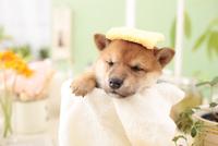 1匹の柴犬 21028021759| 写真素材・ストックフォト・画像・イラスト素材|アマナイメージズ