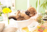 1匹の柴犬 21028021763| 写真素材・ストックフォト・画像・イラスト素材|アマナイメージズ