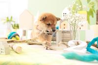 1匹の柴犬 21028021802| 写真素材・ストックフォト・画像・イラスト素材|アマナイメージズ