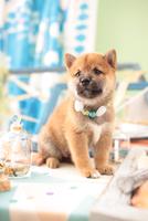 1匹の柴犬 21028021858| 写真素材・ストックフォト・画像・イラスト素材|アマナイメージズ