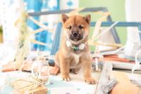 1匹の柴犬 21028021863| 写真素材・ストックフォト・画像・イラスト素材|アマナイメージズ