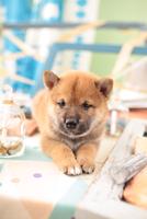 1匹の柴犬 21028021865| 写真素材・ストックフォト・画像・イラスト素材|アマナイメージズ
