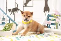 1匹の柴犬 21028021901| 写真素材・ストックフォト・画像・イラスト素材|アマナイメージズ