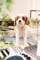 キャバリアの子犬 21028022151| 写真素材・ストックフォト・画像・イラスト素材|アマナイメージズ