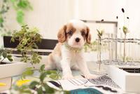 キャバリアの子犬 21028022155| 写真素材・ストックフォト・画像・イラスト素材|アマナイメージズ