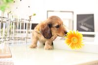 ミニチュアダックスフンドの子犬 21028022158| 写真素材・ストックフォト・画像・イラスト素材|アマナイメージズ