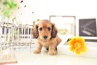 ミニチュアダックスフンドの子犬 21028022159| 写真素材・ストックフォト・画像・イラスト素材|アマナイメージズ
