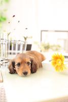 ミニチュアダックスフンドの子犬 21028022163| 写真素材・ストックフォト・画像・イラスト素材|アマナイメージズ