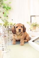 ミニチュアダックスフンドの子犬 21028022166| 写真素材・ストックフォト・画像・イラスト素材|アマナイメージズ