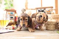 2匹のミニチュアダックスフンドの子犬