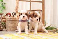 2匹のキャバリアの子犬