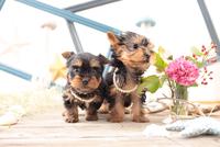 2匹のヨークシャーテリアの子犬