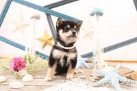 柴犬の子犬 21028022236| 写真素材・ストックフォト・画像・イラスト素材|アマナイメージズ