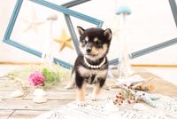 柴犬の子犬 21028022239| 写真素材・ストックフォト・画像・イラスト素材|アマナイメージズ