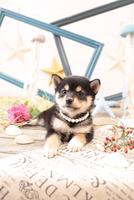 柴犬の子犬 21028022243| 写真素材・ストックフォト・画像・イラスト素材|アマナイメージズ
