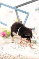 柴犬の子犬 21028022244| 写真素材・ストックフォト・画像・イラスト素材|アマナイメージズ