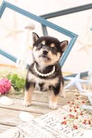 柴犬の子犬 21028022245| 写真素材・ストックフォト・画像・イラスト素材|アマナイメージズ