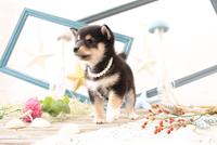 柴犬の子犬 21028022246| 写真素材・ストックフォト・画像・イラスト素材|アマナイメージズ