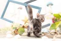 アメリカンショートヘアの子猫 21028022248  写真素材・ストックフォト・画像・イラスト素材 アマナイメージズ