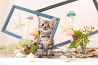 アメリカンショートヘアの子猫 21028022249  写真素材・ストックフォト・画像・イラスト素材 アマナイメージズ