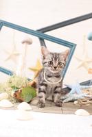 アメリカンショートヘアの子猫 21028022252  写真素材・ストックフォト・画像・イラスト素材 アマナイメージズ