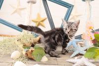 アメリカンショートヘアの子猫 21028022254  写真素材・ストックフォト・画像・イラスト素材 アマナイメージズ