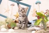 アメリカンショートヘアの子猫 21028022256  写真素材・ストックフォト・画像・イラスト素材 アマナイメージズ