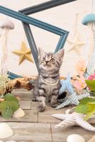 アメリカンショートヘアの子猫 21028022258  写真素材・ストックフォト・画像・イラスト素材 アマナイメージズ
