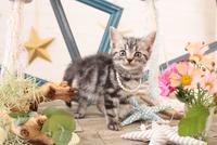 アメリカンショートヘアの子猫 21028022263  写真素材・ストックフォト・画像・イラスト素材 アマナイメージズ