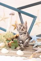 アメリカンショートヘアの子猫 21028022264  写真素材・ストックフォト・画像・イラスト素材 アマナイメージズ