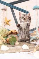 アメリカンショートヘアの子猫 21028022267  写真素材・ストックフォト・画像・イラスト素材 アマナイメージズ