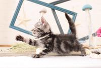 アメリカンショートヘアの子猫 21028022269  写真素材・ストックフォト・画像・イラスト素材 アマナイメージズ