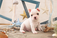 フレンチブルドッグの子犬