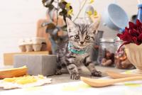 アメリカンショートヘアの子猫 21028022287  写真素材・ストックフォト・画像・イラスト素材 アマナイメージズ