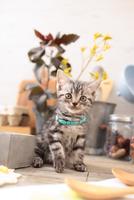 アメリカンショートヘアの子猫 21028022288  写真素材・ストックフォト・画像・イラスト素材 アマナイメージズ