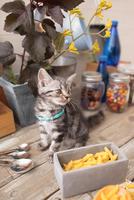 アメリカンショートヘアの子猫 21028022289  写真素材・ストックフォト・画像・イラスト素材 アマナイメージズ