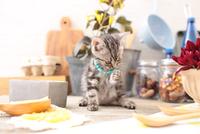 アメリカンショートヘアの子猫 21028022291| 写真素材・ストックフォト・画像・イラスト素材|アマナイメージズ
